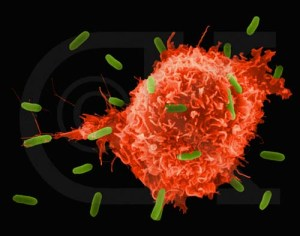 A macrophage attacking infectious organisms