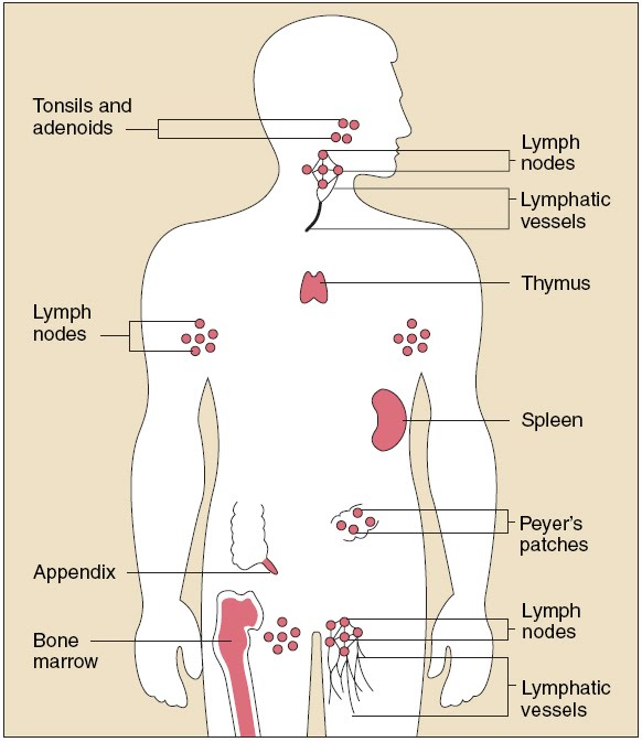 Your body's immune system organs